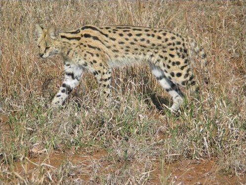 Serval Wikipedia